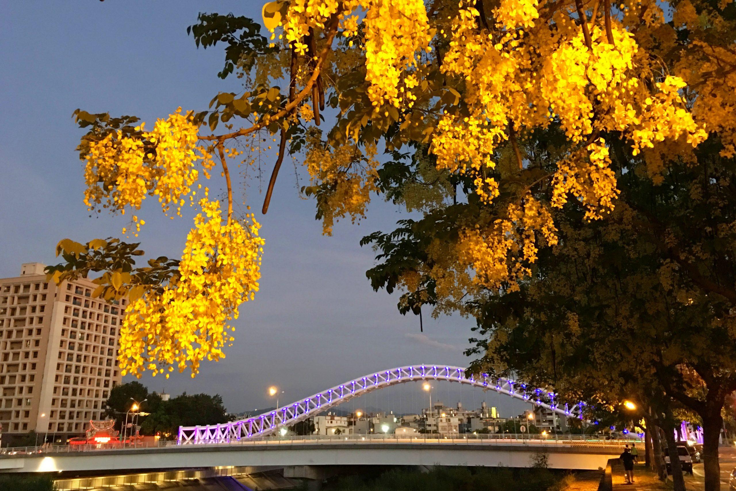 2020台中旱溪阿勃勒。遇見最美的黃金雨,分享6/16最新花況 @飛天璇的口袋