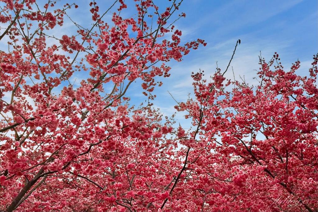 2021新社櫻花季:興社街賞櫻秘境,最美八重櫻盛開中,私人土地園主免費開放 @飛天璇的口袋