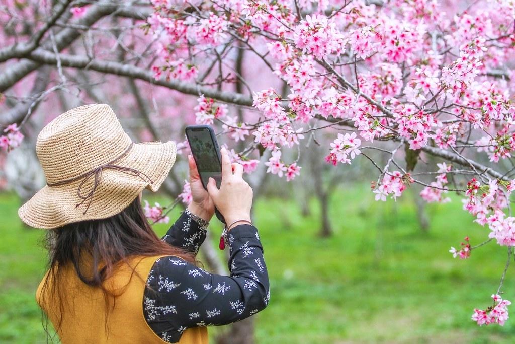 新社月湖莊園:地主免費開放賞櫻,整片粉紅富士櫻即將盛開! @飛天璇的口袋