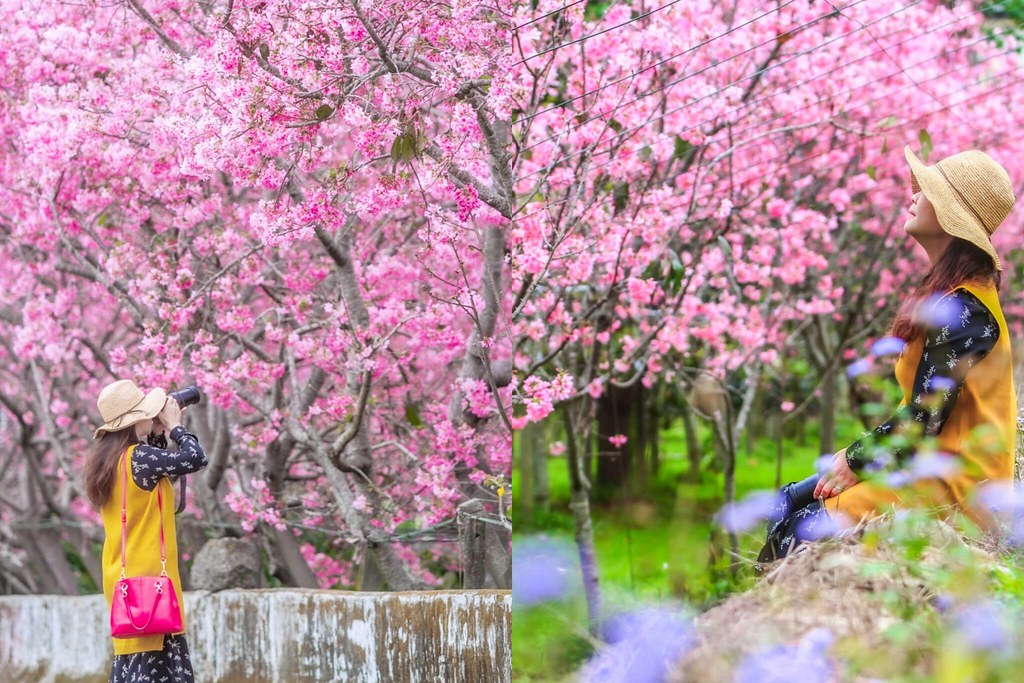 新社櫻花秘境:新社興社街的粉紅富士櫻盛開中! @飛天璇的口袋