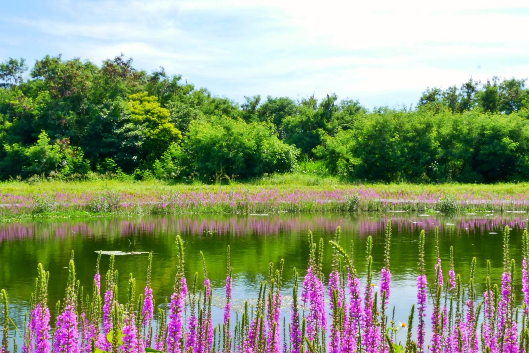 蒜頭生態公園:超美紫色千屈菜花海,IG最新熱門打卡景點 @飛天璇的口袋