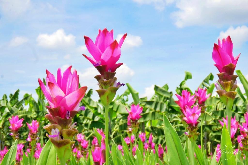 2020溪州x田中薑荷花:粉紅一片的泰國鬱金香,暑假IG粉紅風暴即將開始 @飛天璇的口袋