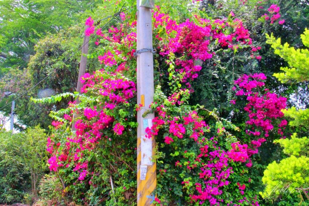 2020溪州綠筍路鳳凰花隧道:6/26最新花況,溪州鄉的美麗秘境 @飛天璇的口袋