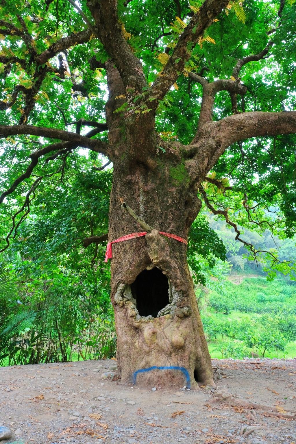 看見台灣!南投國姓百年茄苳神木,隱藏在樹洞裡的台灣地形 @飛天璇的口袋