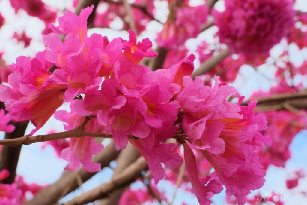 三甲公園:紅花風鈴木浪漫盛開中,台中IG網美打卡爆紅景點 @飛天璇的口袋