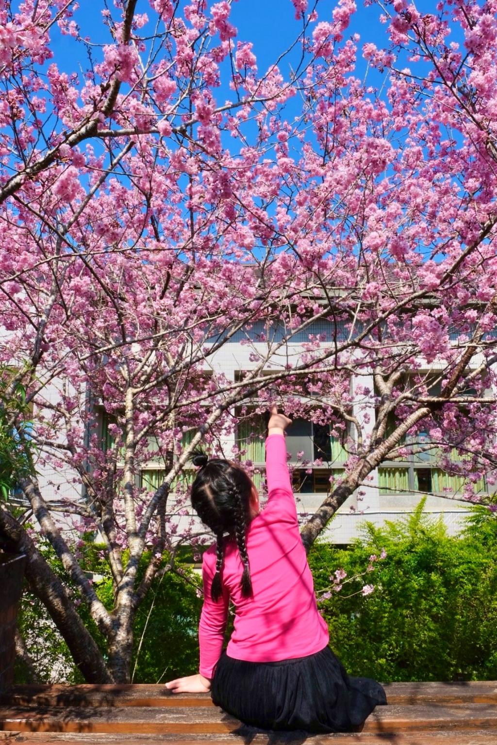台大茶園(鹿谷鳳凰自然教育園區):2021南投台大茶園櫻花季,散步浪漫河津櫻木棧步道 @飛天璇的口袋