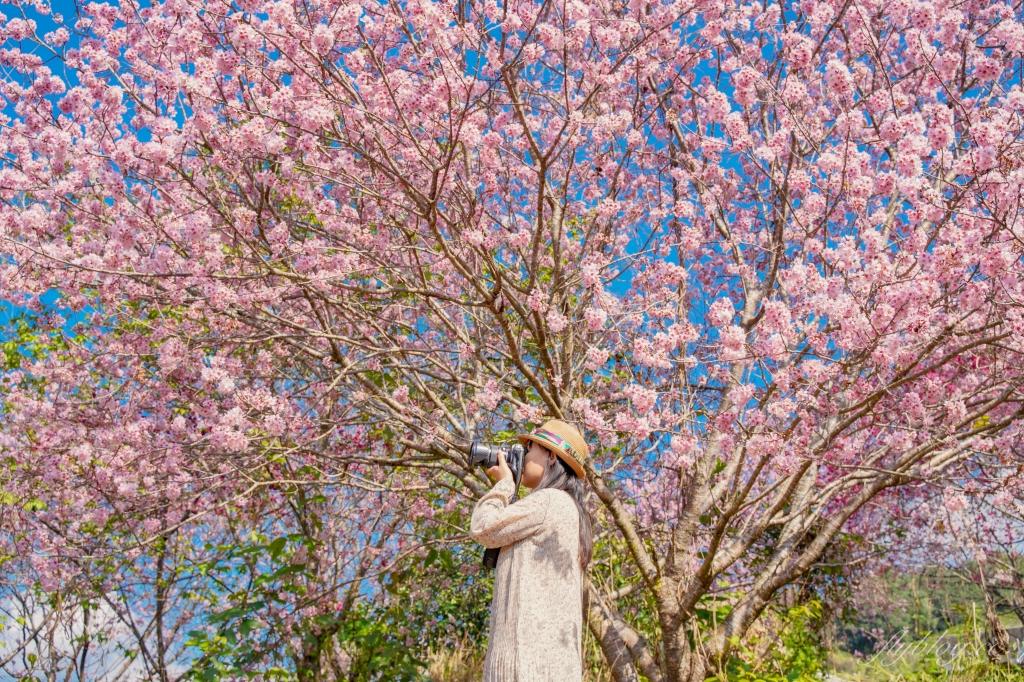 2021北天直轄院:新社隱藏版櫻花林,分享2/18最新花況 @飛天璇的口袋