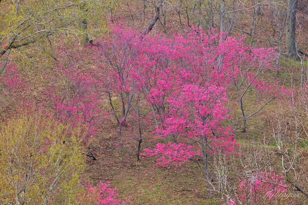【台中北屯】2021大坑濁水巷櫻花林:分享2/19的最新花況(更新:園主表示今年沒有開放) @飛天璇的口袋