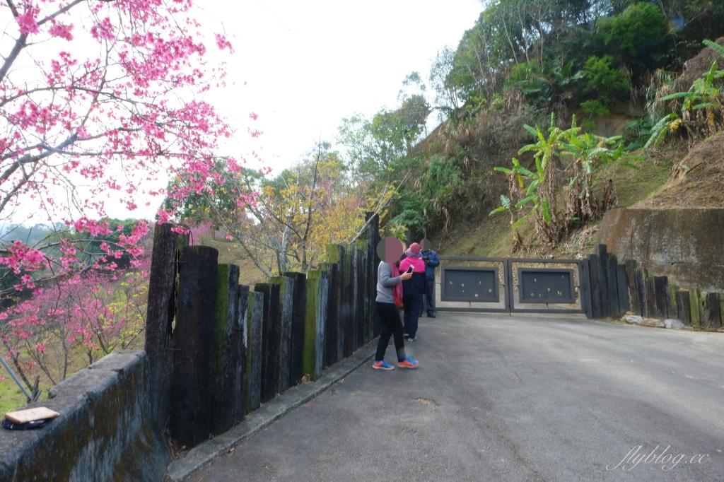 2021大坑濁水巷櫻花林:分享2/19的最新花況(更新:園主表示今年沒有開放) @飛天璇的口袋