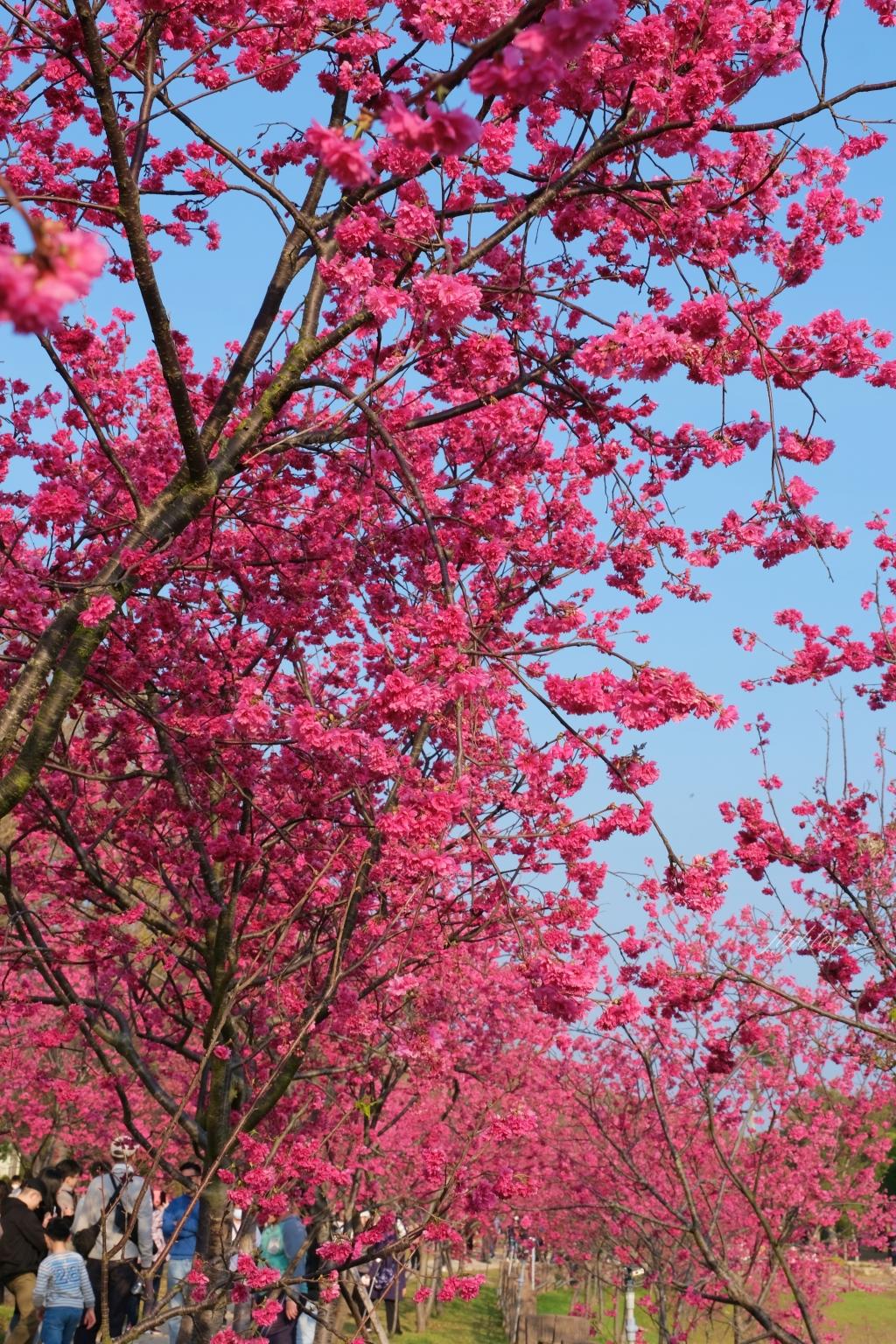 【台中后里】2021后里中科崴立櫻花季:嬌艷桃紅八重櫻盛開中,台中免費千坪賞櫻景點 @飛天璇的口袋
