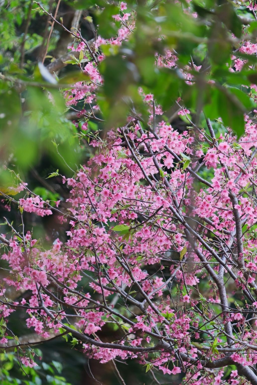 【台中新社】2021櫻花鳥森林:整片粉嫩香水櫻盛開中,可以租日式和服體驗,門票抵折園區消費 @飛天璇的口袋