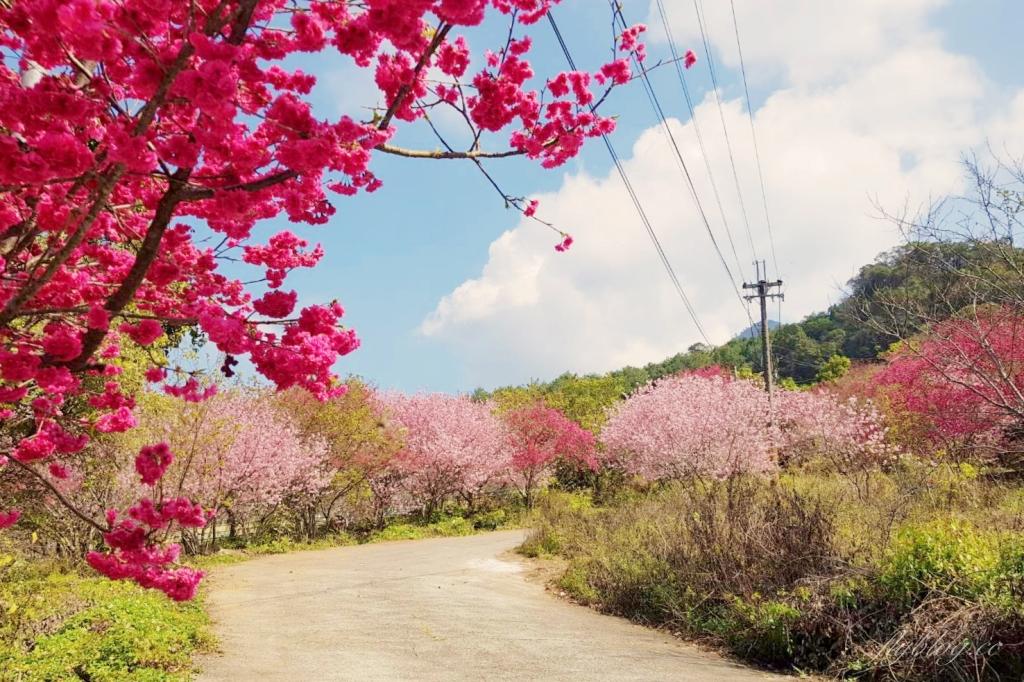 【台中新社】2021北天直轄院:新社隱藏版櫻花林,分享2/18最新花況 @飛天璇的口袋