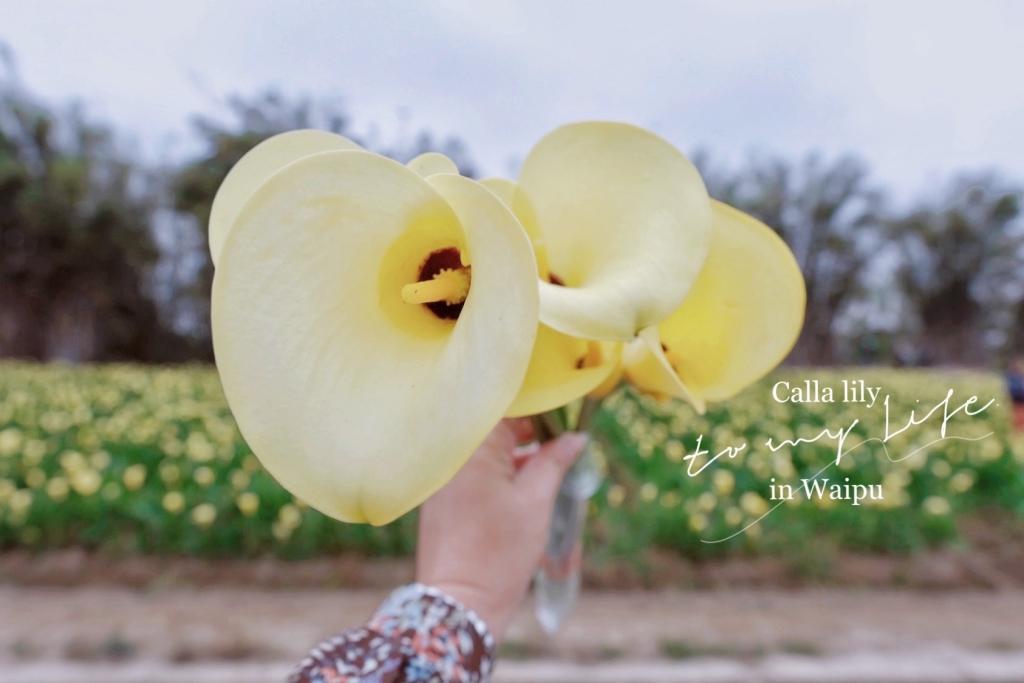 2021外埔海芋季:中部也有漂亮的海芋花田,黃澄澄一片超療癒~ @飛天璇的口袋