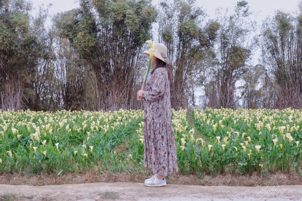 【台中外埔】 2021外埔海芋季:中部也有漂亮的海芋花田,黃澄澄一片超療癒~ @飛天璇的口袋