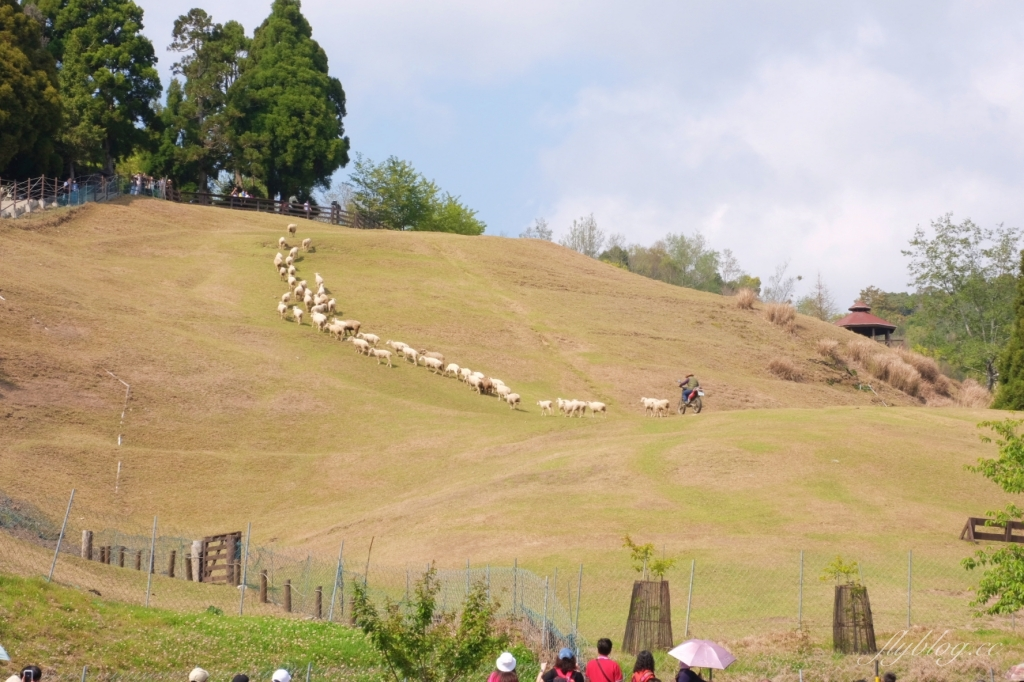 南投仁愛|清境農場 在台灣也可以這麼貼近紐西蘭,還有超療癒的綿羊秀 @飛天璇的口袋