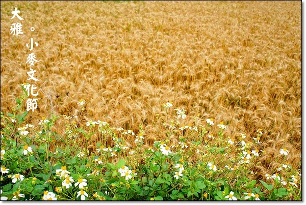 【台中旅遊景點】大雅小麥文化節。遇見最美麗的金色麥浪,迎接2014年最燦爛的春天 @飛天璇的口袋