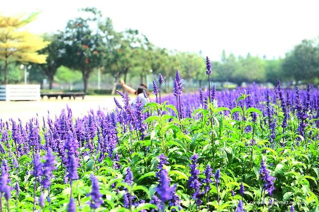 【彰化旅遊景點】溪州費茲洛公園。紫色薰衣草盛開中,公園裡有小橋湖泊,而且不定期的會有熱氣球活動 @飛天璇的口袋