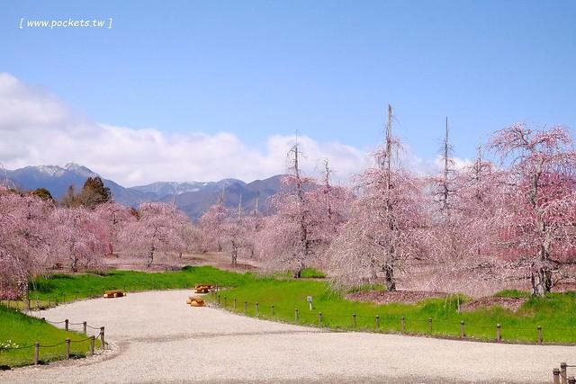 日本名古屋┃鈴鹿の森庭園:整個美到爆炸的垂枝梅,園內有多種梅花和櫻花可以觀賞,位於南紀三重縣鈴鹿市,自由行遊客建議自駕前往比較方便 @飛天璇的口袋