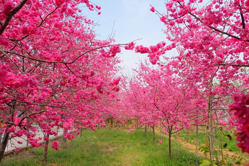 新社櫻花季:興社街觀賞最美八重櫻,私人土地園主免費開放 @飛天璇的口袋