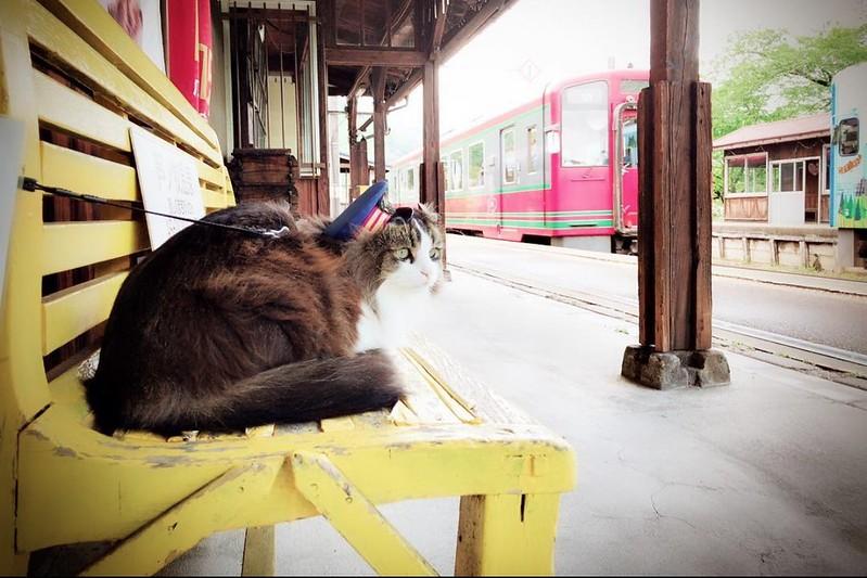 芦ノ牧溫泉駅┃東北福島:日本東北也有超療癒的貓咪站長,會津鐵道蘆之牧溫泉貓咪站長(Loveらぶ駅長)相見歡 @飛天璇的口袋