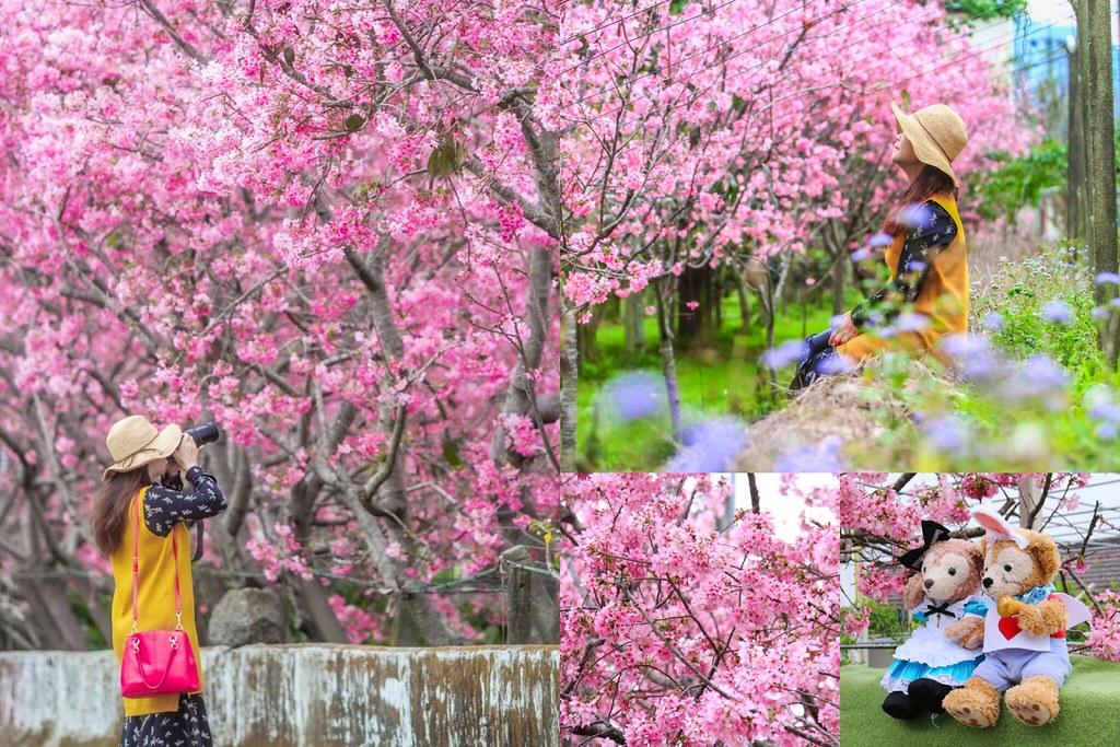 新社櫻花秘境:2020.03.12最新花況~新社興社街的粉紅富士櫻盛開中! @飛天璇的口袋