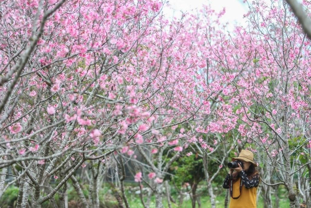 【台灣旅遊】2021櫻花季:中部10個賞櫻盛地花況,228連假櫻花追起來 @飛天璇的口袋