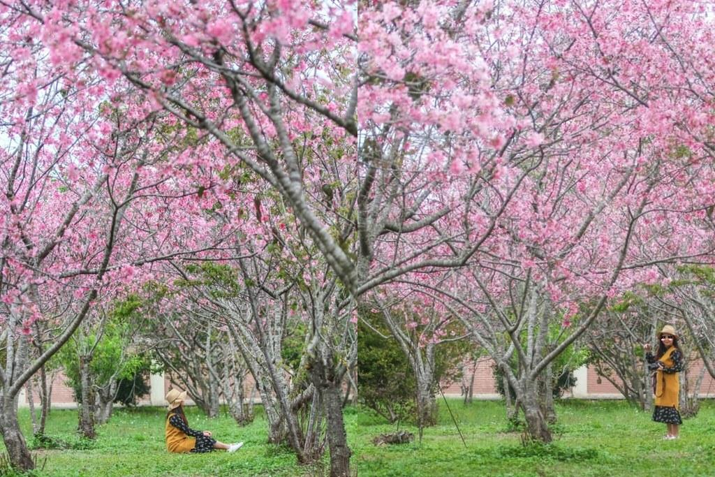 新社月湖莊園:2020.03.12最新花況~整片粉紅富士櫻即將盛開! @飛天璇的口袋