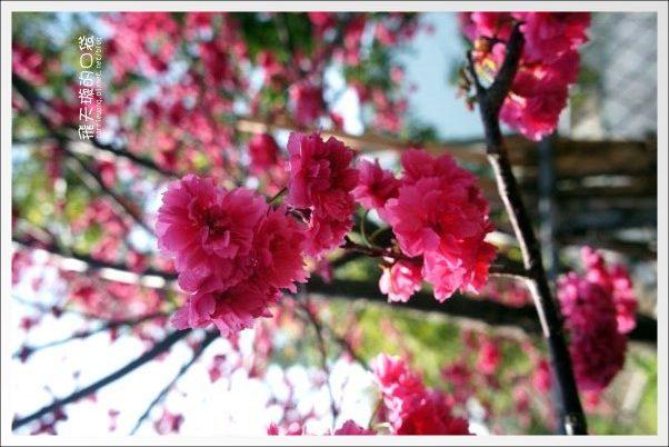 【台中旅遊景點】后理泰安派出所.2013櫻花季。分享最新花況~ @飛天璇的口袋