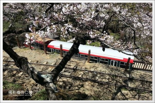 【嘉義】2013阿里山櫻花季(3/15~4/15)。分享3/9最新花況,吉野櫻の櫻王已經開了哦! @飛天璇的口袋